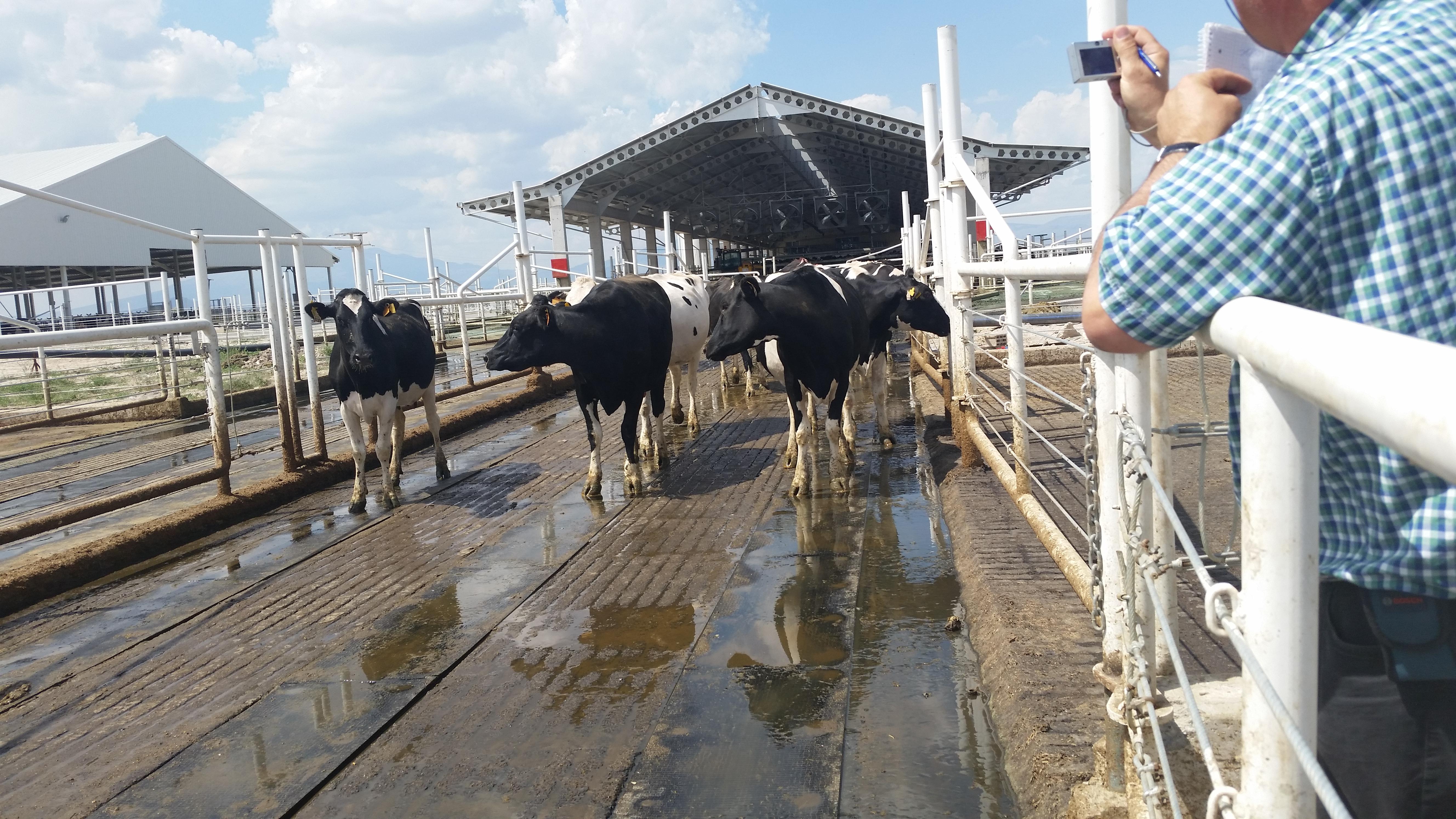 Dairy farm walkways, ineklerin yürüyüş yolları